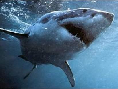 cápa, támadás, cápafaj, szirti cápa, csukamájolaj