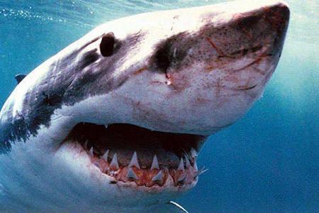 cápa, támadás, cápafaj, fehér cápa, csukamájolaj
