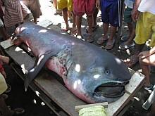 cápa, támadás, cápafaj, csukamájolaj, óriásszájú cápa