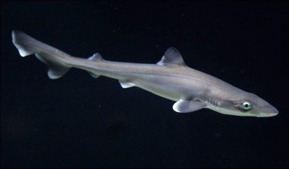 cápa, támadás, cápafaj, csukamájolaj