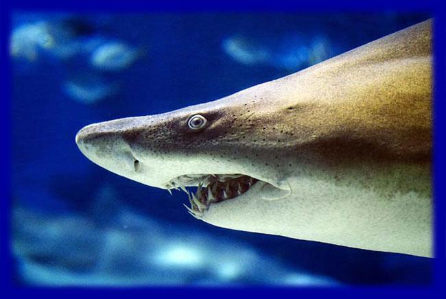 cápa, támadás, cápafaj, csukamájolaj, tigriscápa