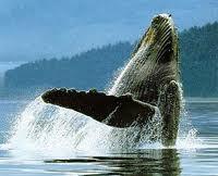 ,bálna, cetfélék, emlősök, sziláscetek, fogascetek, bálnavadászok, kék bálna