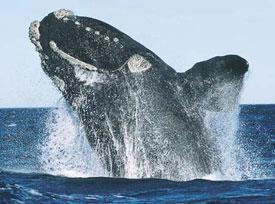 bálna, cetfélék, emlősök, sziláscetek, fogascetek, bálnavadászok