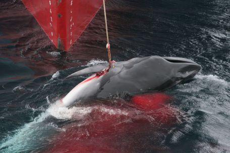 balna, cetfélék, bálnavadász, sziláscet