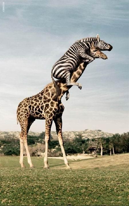 zsiráf, szavanna, csorda, szarvak, acacia fa, legmagasabb élő állat, vágtatás