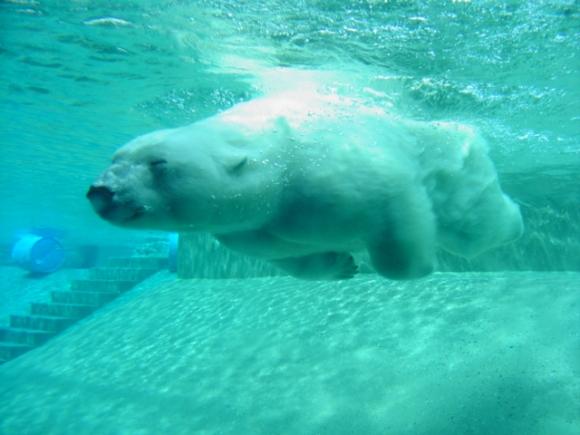 jegesmedve, erős, termetes, vadászat, északi sarkkör, táplálékszerzés, medvebocs, fehér medve