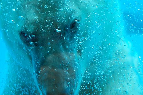 Jegesmedve a víz alatt