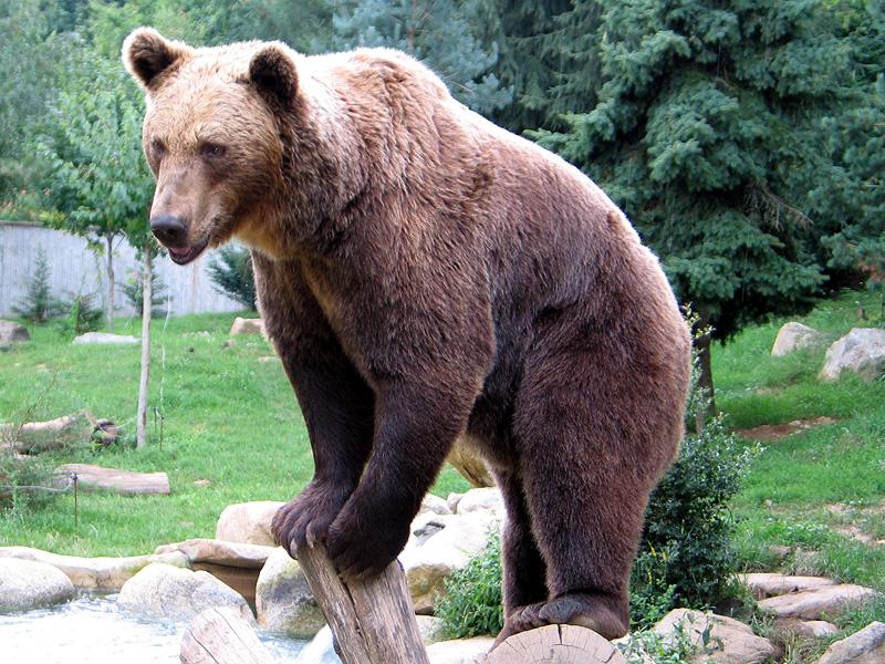 ursus arctos, barnamedve, halászási technika, medve család, lazac, medvebocsok