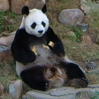 óriás panda, panda bébi, fogság, vadon, táplálék, bambusz