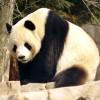 Mit kell tudni az óriáspandáról (Ailuropoda melanoleuca)?
