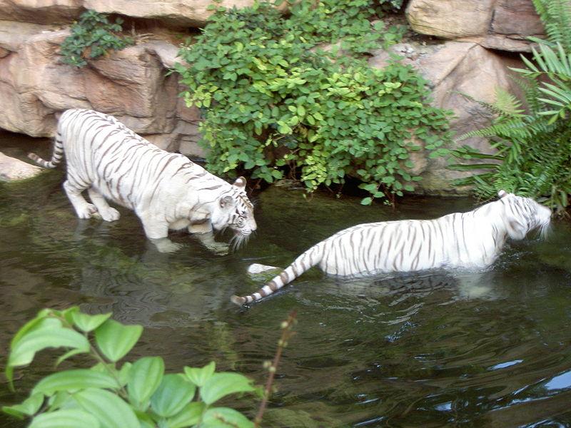feher-tigrisek