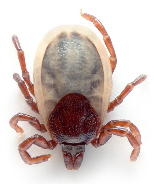 macsk, kullancs, szúnyog, atka, fertőzés, parazita, hordozó, kezelés