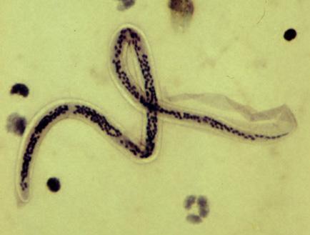 macsk, kullancs, szúnyog, atka, fertőzés, parazita, fonálféreg, hordozó, kezelés