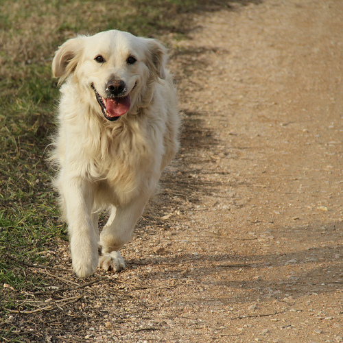szalado-golden-retriever