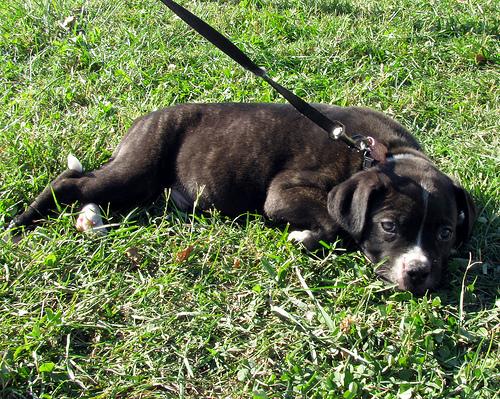 amerikai bulldog. képzés, sétáltatás, hűséges, megbízható, bátor, masszív, agresszív, gyerekbarát, energikus