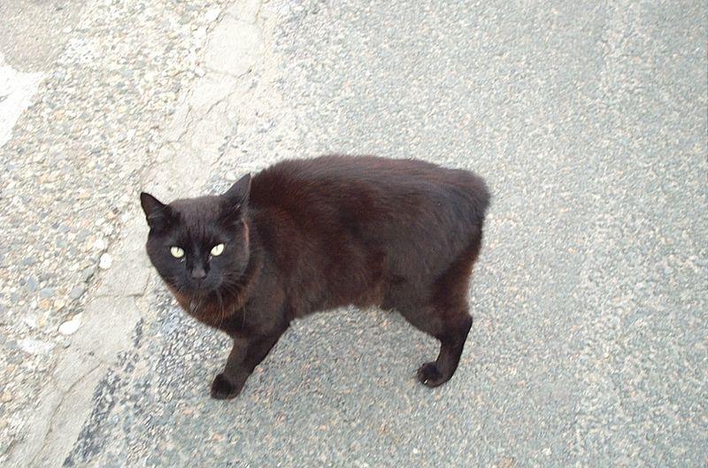 manx, Man-szigeti macska, játékos, kurtított farkú, farkatlan, kerekded, tenyésztés