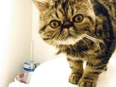 exotikus-macska
