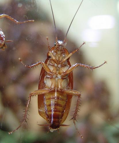 afrikai csótány, elterjedése, táplálkozás, ragadós anyagok, integrált kártevőírtás, megelőzés, higiénia, rovarölő szerek, csapdák