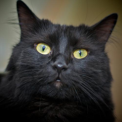 angóra, macska, török angóra, értelmes, játékos, erős akaratú,süketség, kék szem