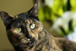 Jó cica, ül! Hogyan idomítsuk a macskát?