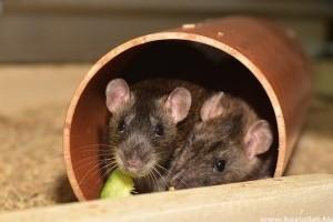 Mit eszik a patkány?