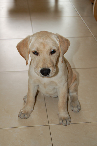 bezs-labrador-retriever