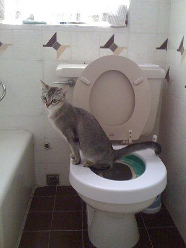macska, képzés, alomtálca, tisztaság, szoktatás, állatorvos