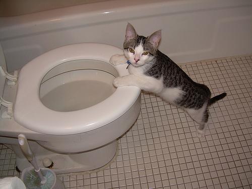 Wc-ző macska