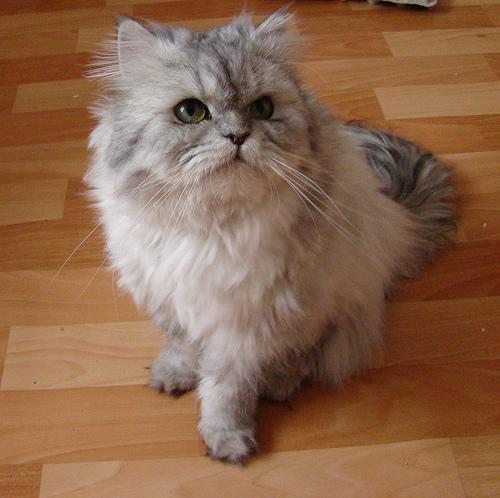 szurke-cica