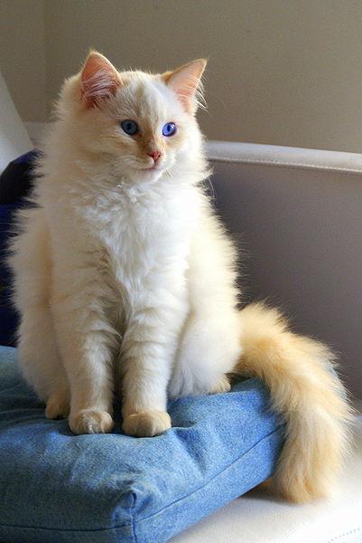 ragdoll-macska