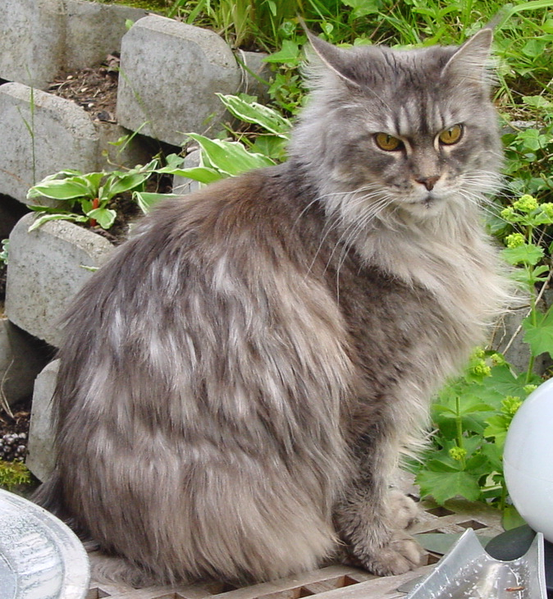 maine-coon-macska