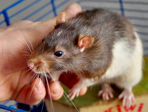 patkány, kisállat, rágcsáló, tenyésztés, gondozás, állatkereskedés, etetés