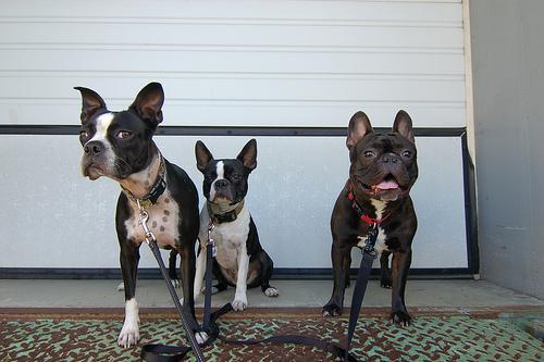 kutyafajta, francia bulldog, állat, kutya