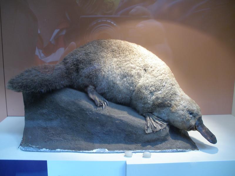 emlősök, kacsacsőrű emlős, párzás, szaporodás