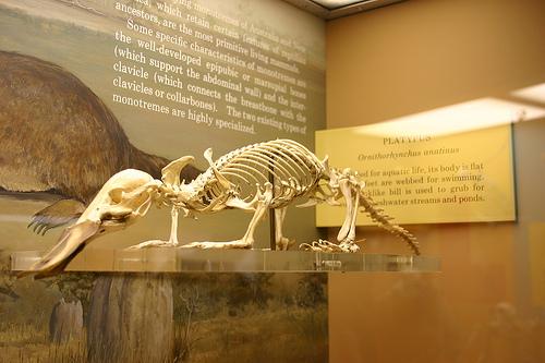 Kacsacsőrű emlős csontváza