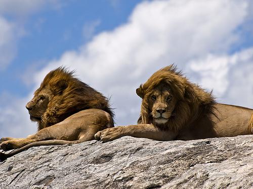 állat, nagyemlős, oroszlán