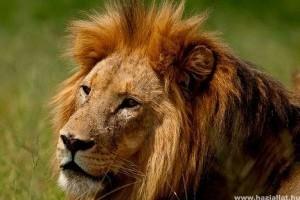 Miért van az oroszlánnak sörénye?