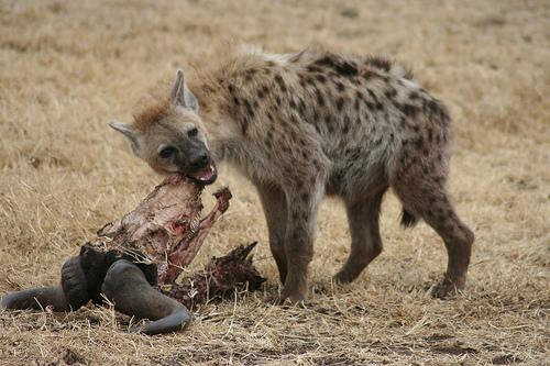 állat, emlős, hiéna, táplálkozás, élőhely