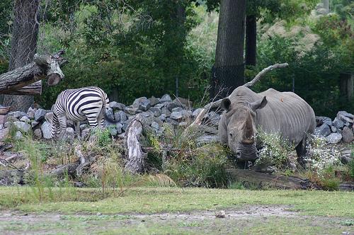 orrszarvu-es-zebra