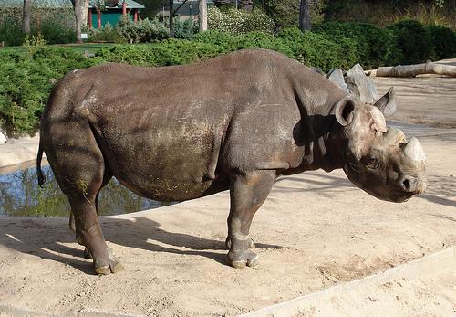 fekete-rinocerosz