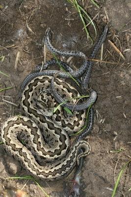 vipera-ursinii-rakosiensis-snake