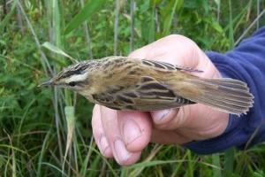 Több mint 4 millió madárra került gyűrű az elmúlt 100 évben Magyarországon