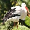 Fejletlen gólyafiókák maradhatnak itthon - kérjük, Ön is segítsen!