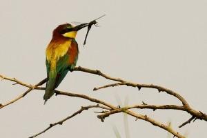 Mélyponton a gyurgyalag (Merops apiaster) állomány Baranyában
