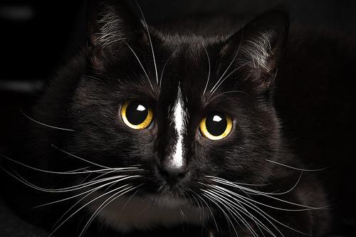 fekete-cicus
