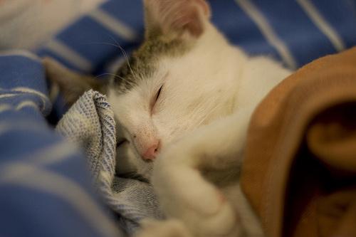 Macska álom