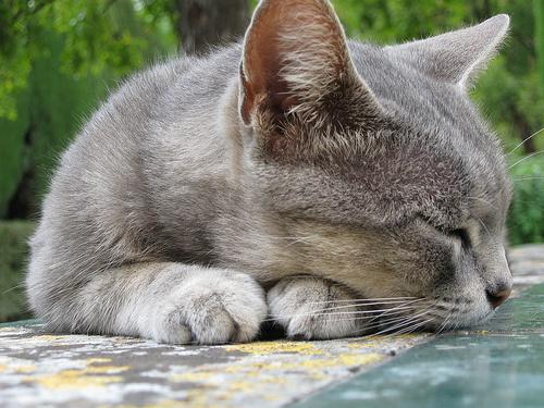 Szürke cica