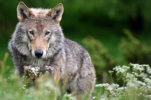Farkasok az autópályán - videóval