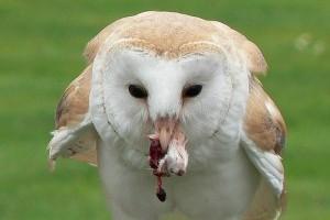 Milyen bagoly a gyöngybagoly (Tyto alba)?