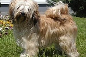 Tibeti terrier kennel
